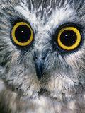Northern Saw-Whet Owl Face and Eyes, Aegolius Acadius, North America Fotoprint van Joe McDonald