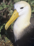 Waved Albatross Head, Diomedea Irrorata, an Endemic Species to the Galapagos Islands, Ecuador Photographic Print by Gerald & Buff Corsi