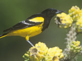 Male Scott's Oriole (Icterus Parisorum) on Cholla Cactus, Southwestern USA Photographie par Steve Maslowski