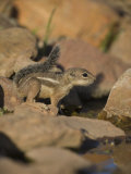 Harris Antelope Squirrel Photographic Print by Jack Michanowski