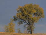 Black Cottonwood Tree in Fall Colors, Populus Trichocarpa, Western North America Photographic Print by Jack Ballard