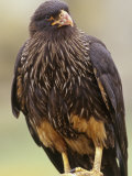 Striated Caracara, Phalcoboenus Australis, Falkland Islands Photographic Print by Gerald &amp; Buff Corsi