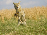 Coyote (Canis Latrans) Capturing Bobwhite Quail Prey, North America Photographic Print by Steve Maslowski
