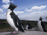 Rockhopper Penguins, Eudyptes Chrysocome, Falkland Islands Photographic Print by Joe McDonald