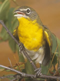 Yellow-Breasted Chat (Icteria Virens), North America Photographic Print by Rob & Ann Simpson