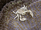 Porcelain Crab (Neopetrolisthes Maculata) on a Sea Anemone, Yap, Micronesia Photographic Print by David Fleetham