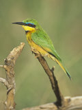 Little Bee Eater, Merops Pusillus, Nairobi National Park, Kenya, Africa Photographic Print by Adam Jones