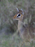 Dikdik Alert and Hiding in Savanna Vegetation, Madoqua, Tanzania, Africa Photographic Print by Arthur Morris