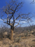Elephant Tree (Bursera Microphylla), Baja California, Mexico Photographic Print by Rob & Ann Simpson