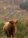 Scottish Highland Cow Photographic Print by Wayne Hutchinson
