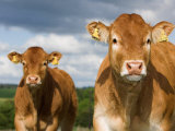 Faces of Limousin Calves with Ear Tags for Identification, England Photographie par Wayne Hutchinson