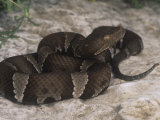 Trans-Pecos Copperhead, Agkistrodon Contortrix Pictigaster, Texas, USA Photographic Print by Gerold & Cynthia Merker