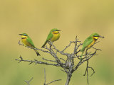Little Bee-Eaters, One with Insect Prey in its Bill, Merops Pusillus, Masai Mara, Kenya, Africa Photographic Print by John & Barbara Gerlach