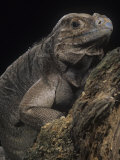 Rhinoceros Iguana, Cyclura Cornuta, an Endangered Species, Haiti and Puerto Rico Photographic Print by Joe McDonald