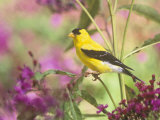 Male American Goldfinch (Carduelis Tristis) on Ironweed (Veronia). North America Photographic Print by Steve Maslowski