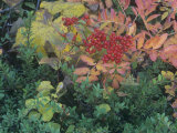 Fall Leaves and Berries of the Mountain Ash, Sorbus Sitchensis, North America Photographic Print by Adam Jones