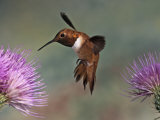 A Rufous Hummingbird Hovering at a Thistle Flower (Selasphorus Rufus), New Mexico, USA Photographic Print by Jack Michanowski
