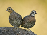 Northern Bobwhite Pair, Colinus Virginianus, North America Reproduction photographique par Arthur Morris