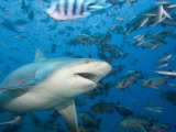 Bull Shark (Carcharhinus Leucas), Fiji Photographic Print by David Fleetham