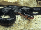 Eastern Indigo Snake (Drymarchon Corais Couperi), Florida Photographic Print by Gerold &amp; Cynthia Merker