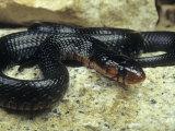 Eastern Indigo Snake (Drymarchon Corais Couperi), Florida Photographic Print by Gerold & Cynthia Merker