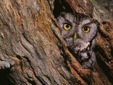 Eastern Screech Owl, Otus Asio, North America Photographic Print by Charles Melton