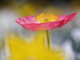 Poppy Flower Fotografie-Druck von Adam Jones