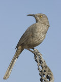 Curve-Billed Thrasher (Toxostoma Curvirostre) on a Cholla Cactus Skeleton, Arizona, USA Photographie par Charles Melton