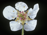 Pear Flower, Pyrus Communis Photographic Print by Jerome Wexler