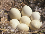 Canada Goose Nest with Seven Eggs, Branta Canadensis, North America Fotografisk trykk av Derrick Ditchburn