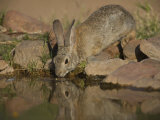Desert Cottontail Photographic Print by Jack Michanowski