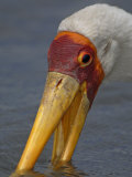 Close-Up of a Yellow-Billed Stork Feeding, Mycteria Ibis, East Africa Photographic Print by Arthur Morris