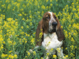 Basset Hound Sitting in a Field of Wild Mustard Photographic Print by David Cavagnaro