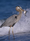 Great Blue Heron (Ardea Herodias) with a Fish That Is Has Speared with its Bill, Florida Coast, USA Photographic Print by Robert Lindholm