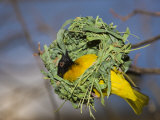 Vitelline Masked Weaver Building its Nest (Ploceus Vitellinus), Tanzania, Serengeti National Park Photographic Print by Reinhard Dirscherl