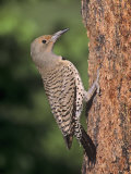 Female Northern Flicker (Colaptes Auratus), USA Photographic Print by Charles Melton