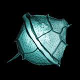 Pyrodinium, a Bioluminescent Dinoflagellate Photographic Print by Joe Scott