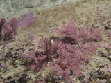 Coralline Red Algae, Corallina, Rhodophyta, California, Usa, Pacific Ocean Photographic Print by Daniel Gotshall