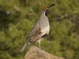 Gambel's Quail Male (Callipepla Gambelii) on a Rock, Sonoran Desert, Arizona, USA Photographic Print by Charles Melton