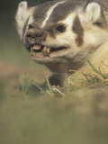 American Badger, Taxidea Taxus, Snarling When Disturbed While Digging its Burrow, North America Photographic Print by Joe McDonald