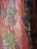 Pacific Yew Tree, Taxus Brevifolia, Close-Up of Bark, Taxus Brevifolia Photographic Print by Guillermo Gonzalez