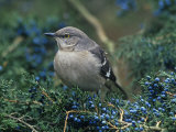 Northern Mockingbird in Red Cedar (Mimus Polyglottos), North America Photographic Print by Steve Maslowski