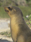 Galapagos Sea Lion Head (Zalophus Californianus), North Seymour Island, Galapagos Islands Photographic Print by Tom Walker