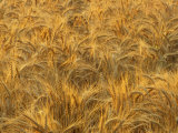 Early Morning Light on a Wheat Field Ready for Harvesting, Triticum Aestivum Photographic Print by Adam Jones