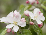 Apple Blossoms and Buds in the Spring Papier Photo