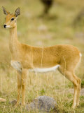 An Oribi on the Savanna, Ourebia Ourebi, East Africa Photographic Print by Joe McDonald