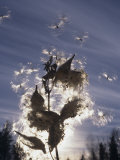 Milkweed Seeds Dispersed by Wind Photographic Print by Wally Eberhart