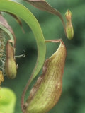 Pitcher Plant, Nepenthes Ventricosa Photographic Print by Adam Jones
