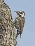 Arizona Woodpecker Female on an Oak Branch (Picoides Arizonae), Arizona, USA Photographic Print by Charles Melton