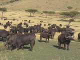 African Buffalo, Syncerus Caffer, Herd in Migration across the Savanna, Masai Mara, Kenya, Africa Photographic Print by Joe McDonald